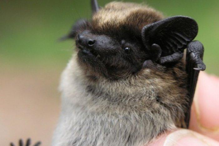 Ilustračný obrázok k článku Nitra zažije noc netopierov: Sledovanie ultrazvukovým detektorom a ukážky odchytu!