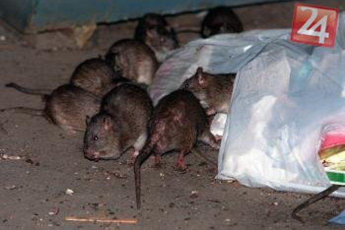 Ilustračný obrázok k článku Na premnožené potkany a myši už otrava nezaberá: Čo pomôže?