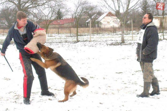 Ilustračný obrázok k článku Meranie síl havkáčov v Moravciach: Figurant si užil svoje, s radosťou do neho hrýzli všetky psy