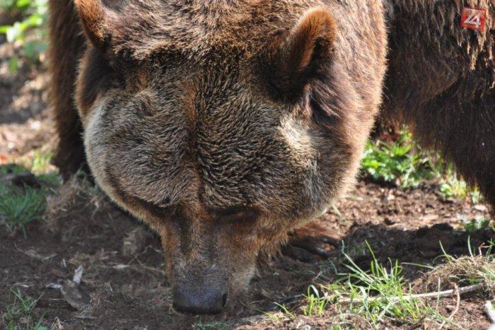 Ilustračný obrázok k článku Útoky medveďov v kremnických lesoch: V každom 3. prípade obeť ani nestačila reagovať!