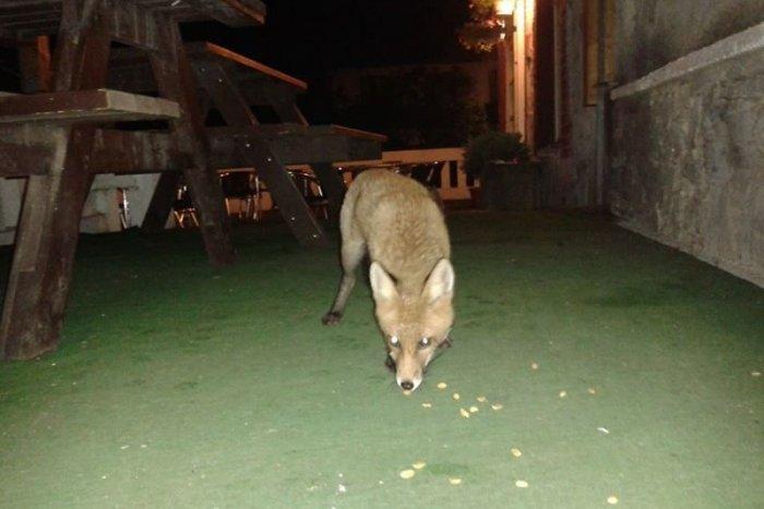 Ilustračný obrázok k článku Kuriozita v Kremnici: Zatúlaná líška pózovala v krčme, ľudia ju kŕmili arašidmi
