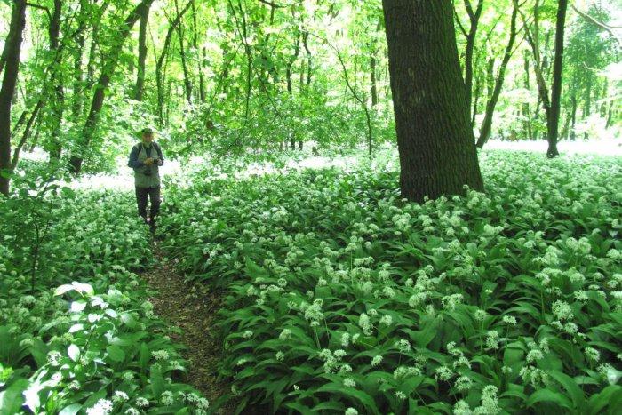 Ilustračný obrázok k článku Sezóna medvedieho cesnaku je už tu: Kde v okolí Topoľčian si lahôdku z prírody môžete nazbierať?