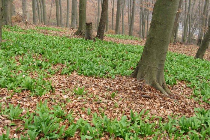 Ilustračný obrázok k článku Sezóna medvedieho cesnaku v plnom prúde: Kde v okolí Žiaru si lahôdku z prírody môžete nazbierať?