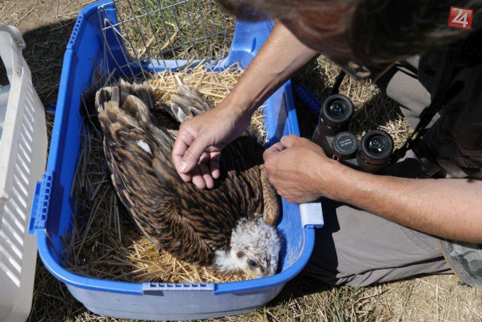 Ilustračný obrázok k článku Výborná správa: Sestru adoptovaného orla Karola zachytila fotopasca v Rakúsku