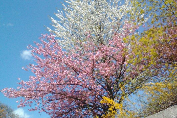 Ilustračný obrázok k článku Krásny úkaz v centre Bystrice: Korunu stromu zdobia dvojfarebné kvety FOTO