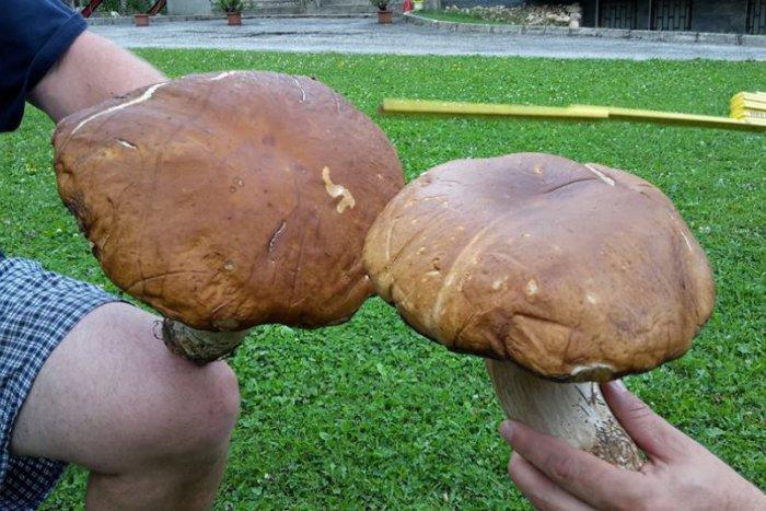 Ilustračný obrázok k článku FOTO: Parádny hubársky úlovok z Tálov. Nálezca v sebe nezaprel humoristu