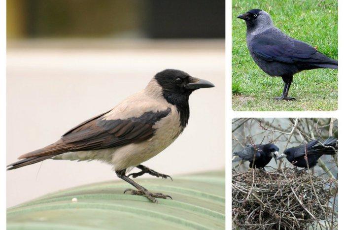 Ilustračný obrázok k článku Havrany, kavky a vrany sú šedou eminenciou bratislavských sídlisk
