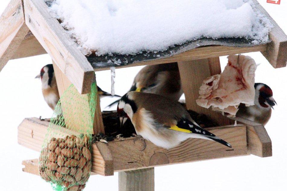 Ilustračný obrázok k článku OPÝTALI SME SA: Ako prikrmovať operencov počas zimy?