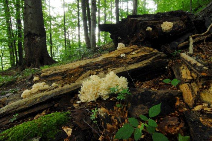 Ilustračný obrázok k článku Výhrady zabrali: Slovensko pripravilo opatrenia pre Karpatské bukové pralesy