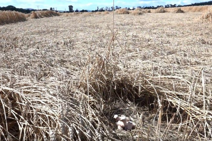 Ilustračný obrázok k článku Záchrana v hodine dvanástej: Mláďatá ohrozenej kane našli pri Nitre deň pred žatvou