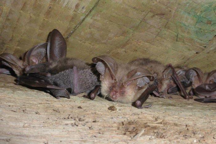 Ilustračný obrázok k článku Zimné sčítanie netopierov: Ochranári sa vydali aj do neprebádaných území