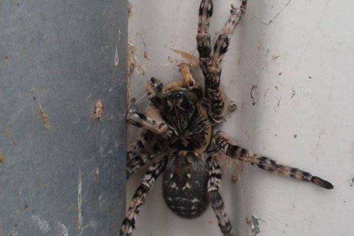 Ilustračný obrázok k článku V Nitre žije najväčší európsky pavúk: Dorastá do veľkosti dlane