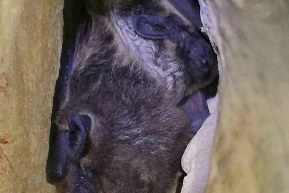 Ilustračný obrázok k článku Na Muránskej planine žije záhadný druh netopiera: Čím je jeho populácia unikátna?