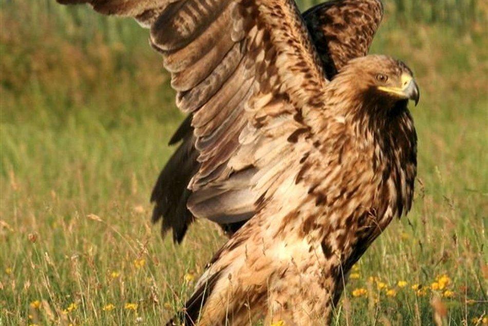 Ilustračný obrázok k článku Návrat orla kráľovského: V CHKO Ponitrie napočítali rekordný počet hniezd