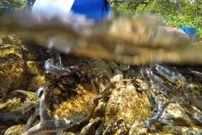 Ilustračný obrázok k článku Tatranské rieky budú plné pstruhov: Zarybňujú aj vody na Liptove