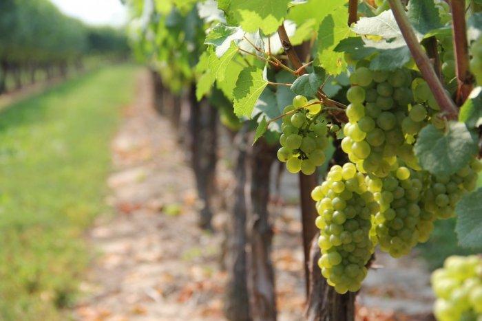 Ilustračný obrázok k článku Prišli k vám priatelia, ktorí milujú víno? Vezmite ich do najvýchodnejších vinárskych obcí