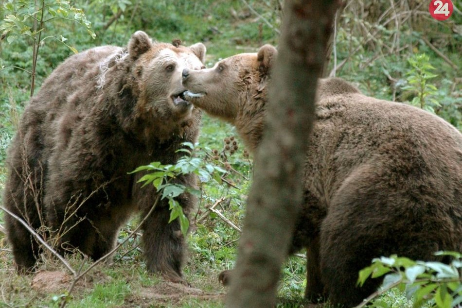 Ilustračný obrázok k článku Odborník prehovoril o strete s medveďom pri Bystrici: Čo zistil zásahový tím?