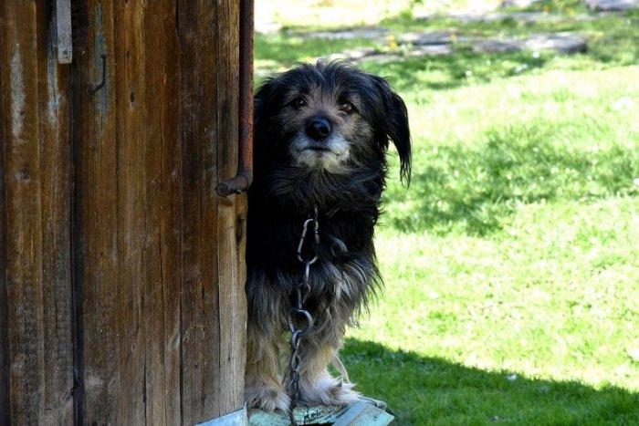 Ilustračný obrázok k článku HLASUJTE: Pes na reťazi, áno či nie?!