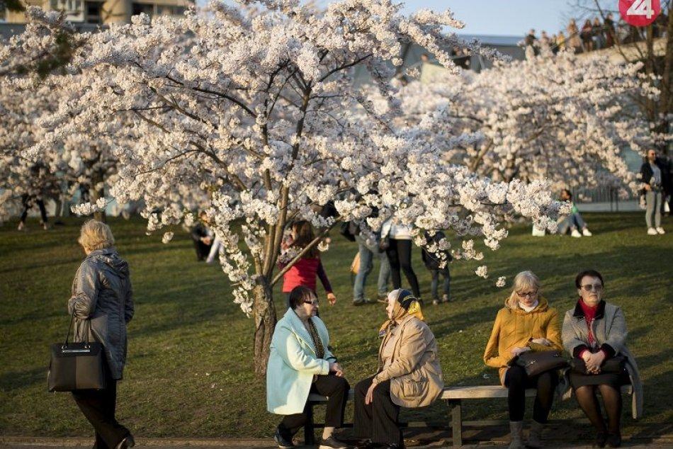 Ilustračný obrázok k článku Bratislava dostane darček od Japonska: Mesto zakvitne nádhernými kvetmi sakury