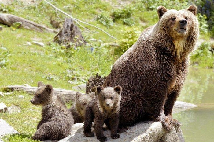 Ilustračný obrázok k článku Ochranári rozhodli: Čo bude so zatúlanou medvedicou a jej mladými?