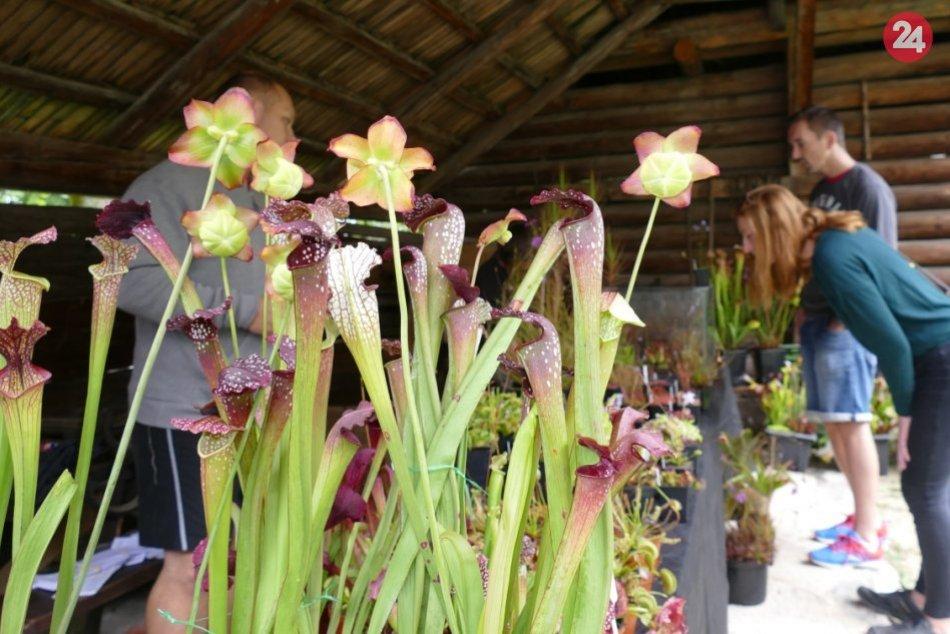 Ilustračný obrázok k článku Martinský skanzen ovládli mäsožravé rastliny: Nechýbali ani exotické orchidey