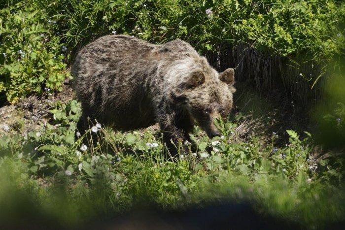 Ilustračný obrázok k článku Bystričania opísali hrozivé okamihy: Na Nikolu s priateľmi vybehla medvedica