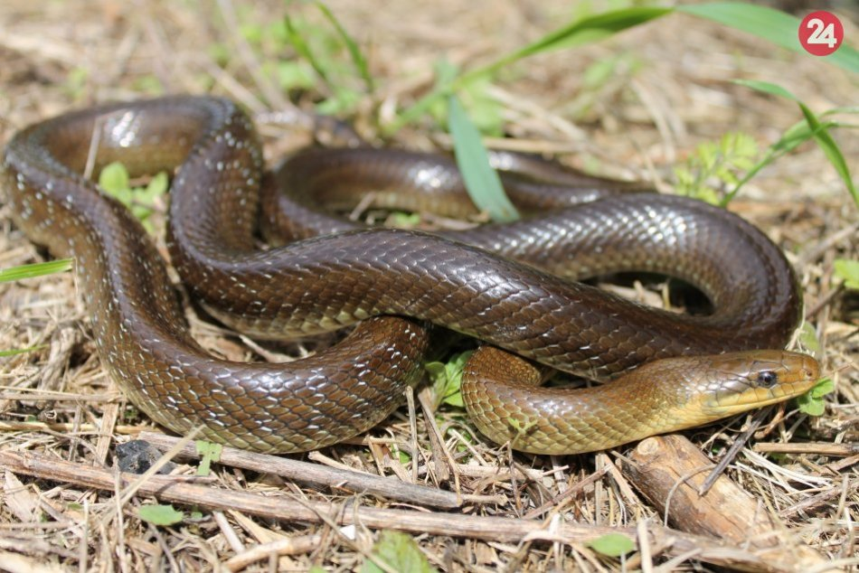 Ilustračný obrázok k článku FOTO: Pri pohľade na hada mnohí panikária. Je sa v našich končinách čoho báť?