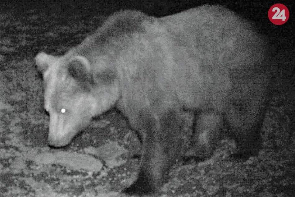 Ilustračný obrázok k článku Zásahový tím o prechádzkach medveďov do mesta: Jeseň nevyšla, všetko sa ukáže až na jar