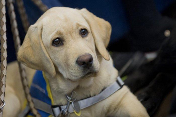 Ilustračný obrázok k článku Máme sa čím pochváliť: Psy, vychované v Lučenci, pomáhajú až v Kanade