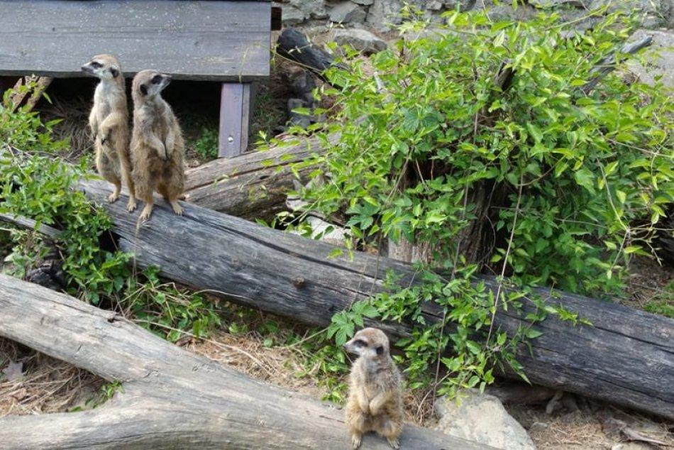 Ilustračný obrázok k článku Akčným surikatám v bratislavskej ZOO sa zrútila časť výbehu. Chystajú pre nich nový domov