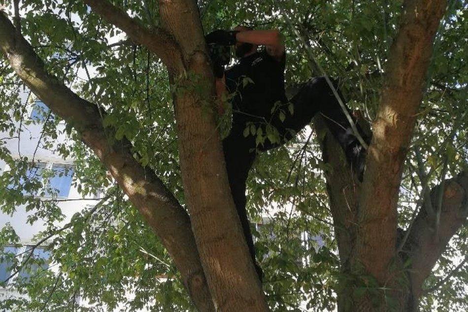 Ilustračný obrázok k článku Nevšedná záchrana na zvolenskom sídlisku: Policajti zamierili do korún stromov, FOTO