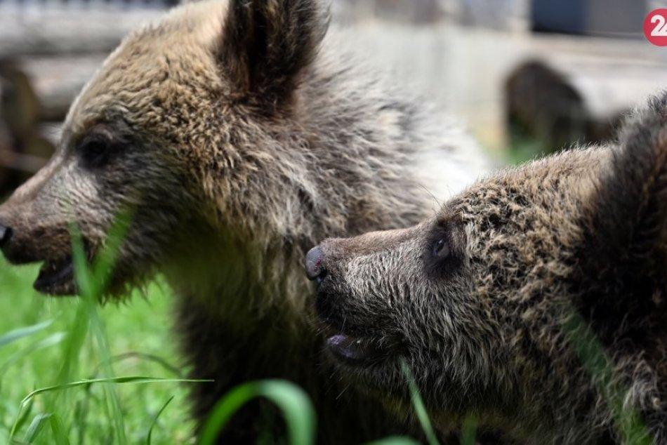 Ilustračný obrázok k článku Po usmrtení medvedice ostali bez matky TRI mláďatá: Čo s nimi bude?