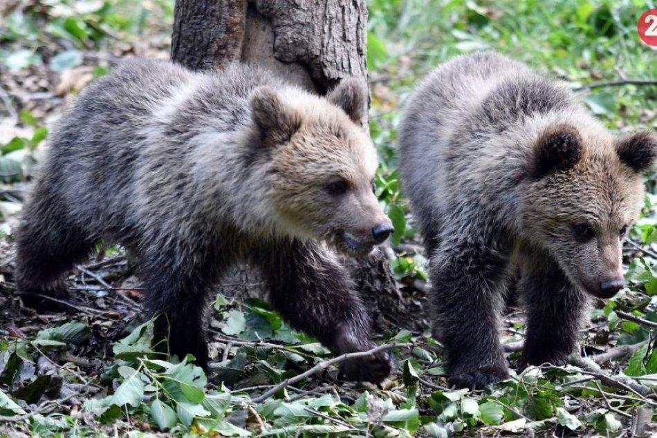 Ilustračný obrázok k článku Osud medvedice s mladými je naďalej neistý: Ochranári zostávajú v pohotovosti