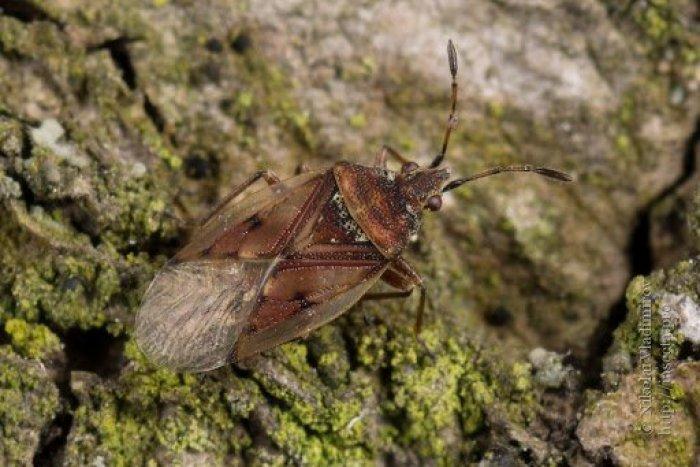 Ilustračný obrázok k článku V Hlohovci sa premnožil páchnuci hmyz! Nie je dôvod k panike, hovoria odborníci