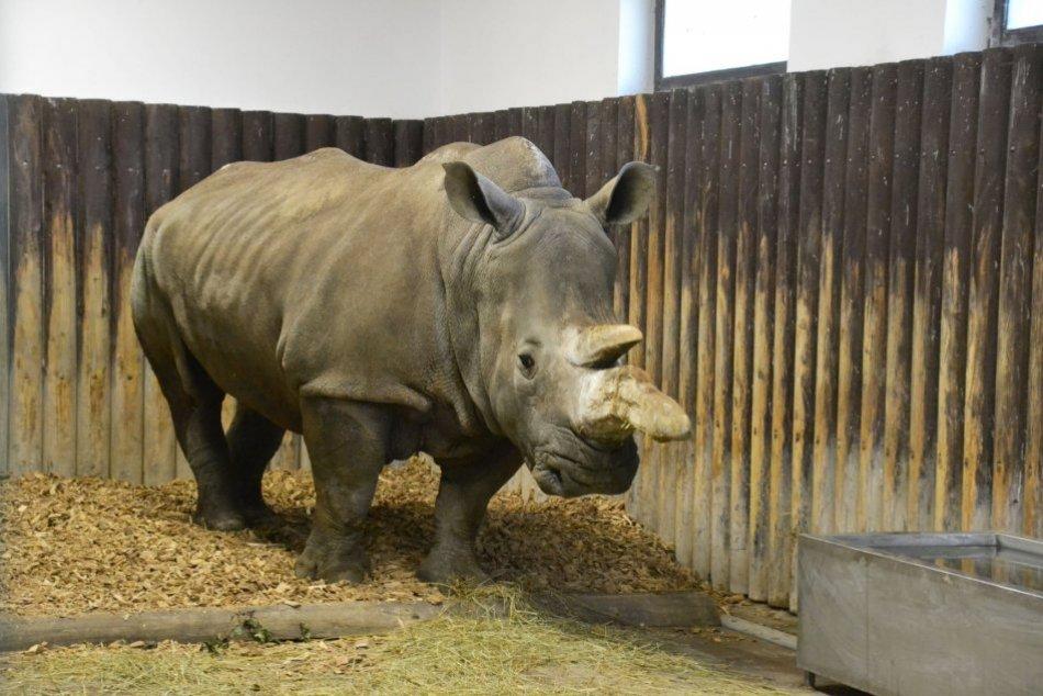 Ilustračný obrázok k článku Nový prírastok v bratislavskej ZOO: Samica nosorožca má meno sympatickej filmovej postavy