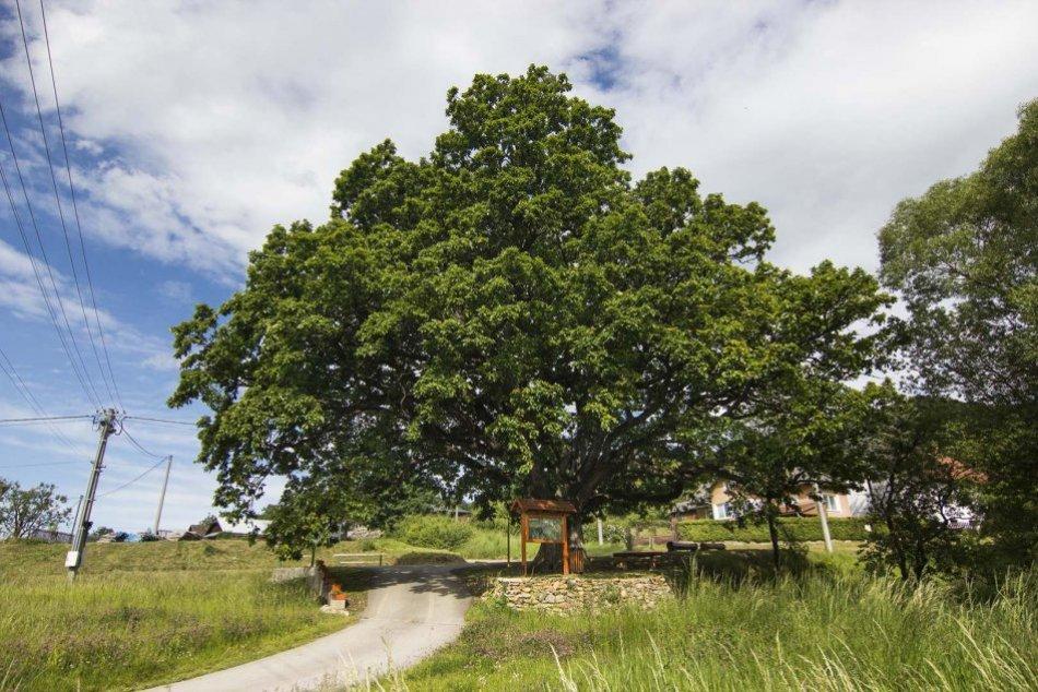 Ilustračný obrázok k článku Máme víťaza: Stromom roka 2020 sa stal prastarý dub letný z Drnavy