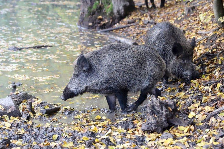 Ilustračný obrázok k článku Africký mor ošípaných sa rozšíril do okresu Revúca. Čo sa bude diať?