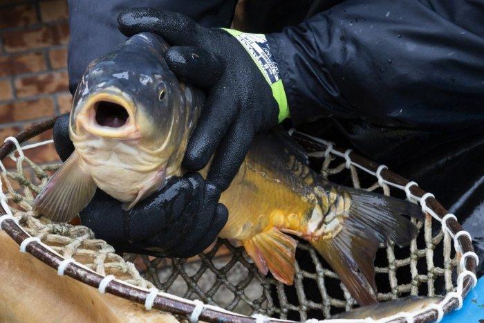 Ilustračný obrázok k článku Rybári hlásia výbornú sezónu kaprov. Ceny oproti vlaňajšku veľmi nezvýšili