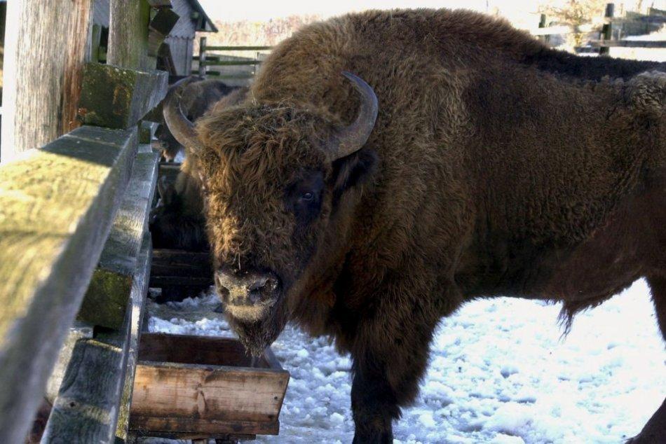 Ilustračný obrázok k článku Užite si pohľad na impozantné zvieratá: Zubria zvernica láka aj počas zimy