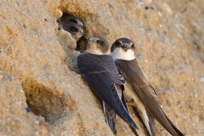 Ilustračný obrázok k článku Záchrana vzácnych vtákov: Po obnove svahu sa vrátia na breh Dunaja
