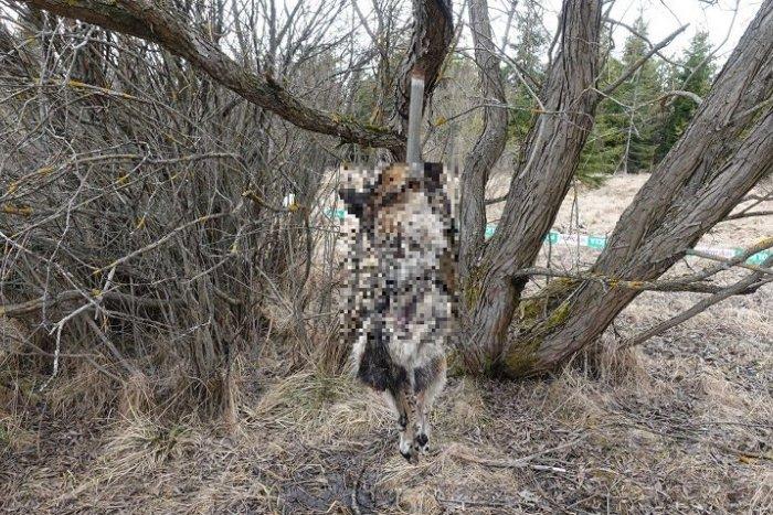 Ilustračný obrázok k článku Beštiálny čin: Muž uviazal psíkovi špagát okolo krku, bezbranné zviera sa obesilo