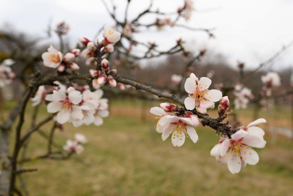 Ilustračný obrázok k článku Príroda ožíva farbami: V obci pri Nitre už kvitnú aj mandľovníky, FOTO