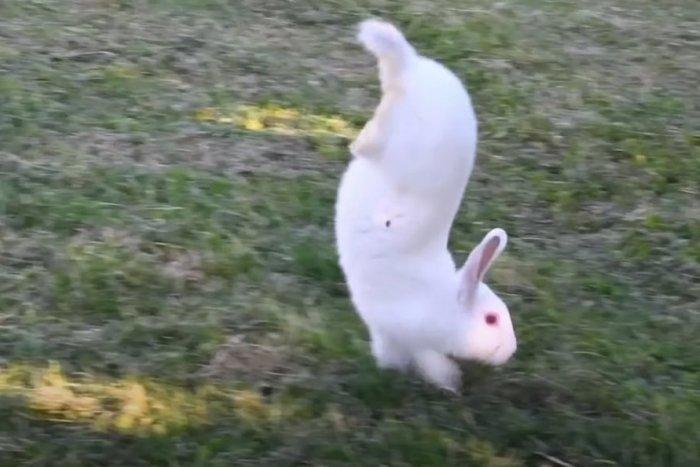 Ilustračný obrázok k článku KURIOZITA DŇA: Vzácne plemeno králika chodí IBA po predných, vedci rozlúskli záhadu