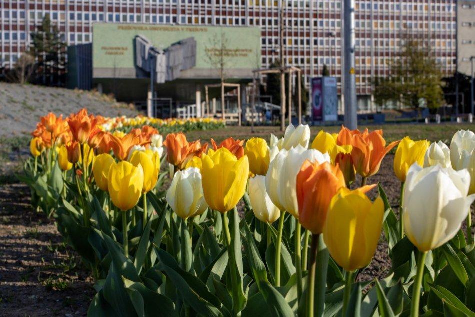 Ilustračný obrázok k článku To je NÁDHERA: Frekventované miesto v Prešove vo veľkom zaplavili tulipány, FOTO