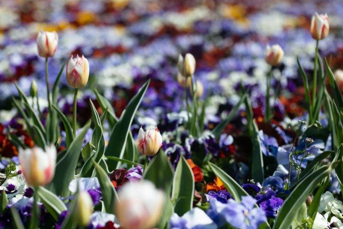 Ilustračný obrázok k článku Staré Mesto vysadilo takmer 30-tisíc kvetov. Zvolilo kombináciu dvoch druhov