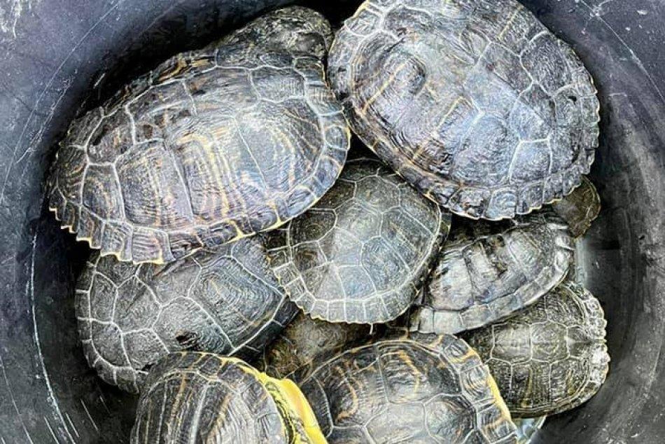 Ilustračný obrázok k článku Veľká akcia na Štrkovci: Odchytávajú korytnačky, ktoré tam vypustili ľudia