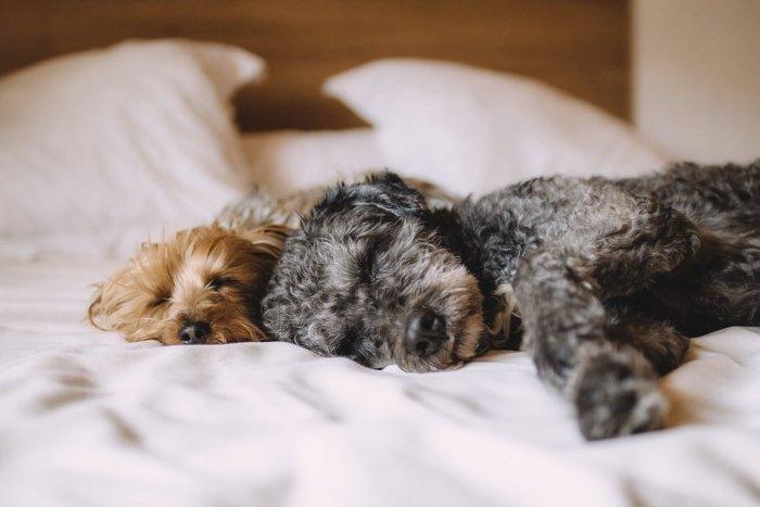 Ilustračný obrázok k článku Že pes nepatrí do postele? 7 dôvodov, prečo sa vám možno takéto spanie zapáči!
