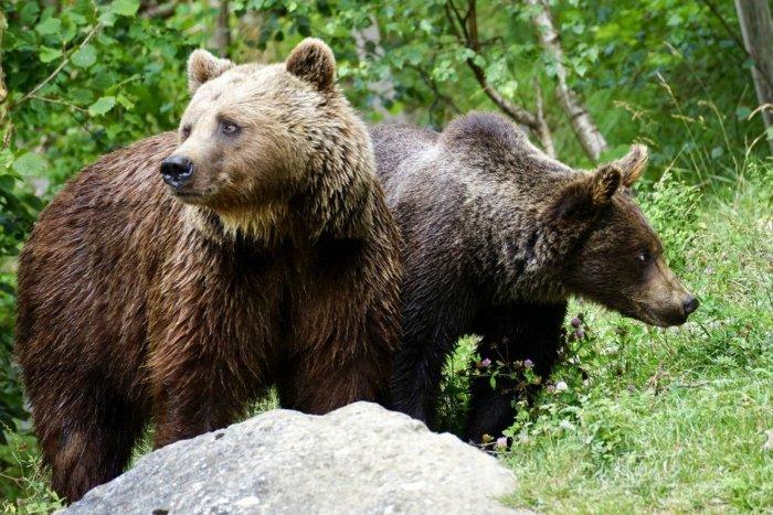 Ilustračný obrázok k článku POTVRDENÉ: Slovensko má prvú obeť (†57) po útoku medveďa!