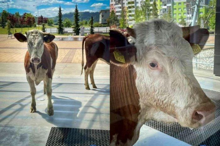 Ilustračný obrázok k článku Nečakaný výjav: Kravy v uliciach Popradu, čo ich odplašilo z pastvín?