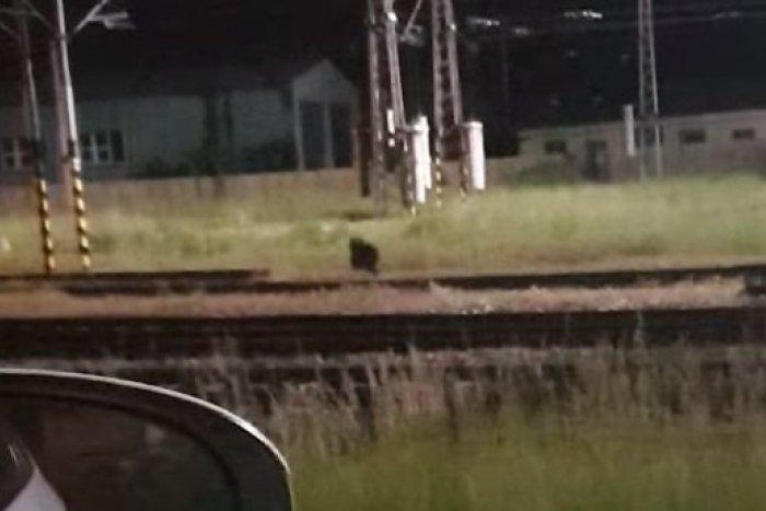 Ilustračný obrázok k článku Medveď priamo vo Zvolene: Taxikár zachytil nečakaného návštevníka na VIDEO